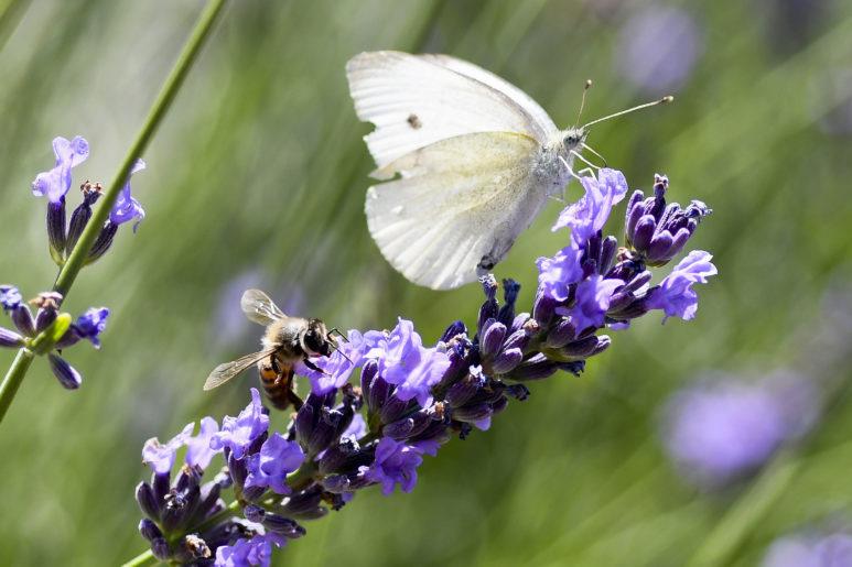 Abeille et papillon