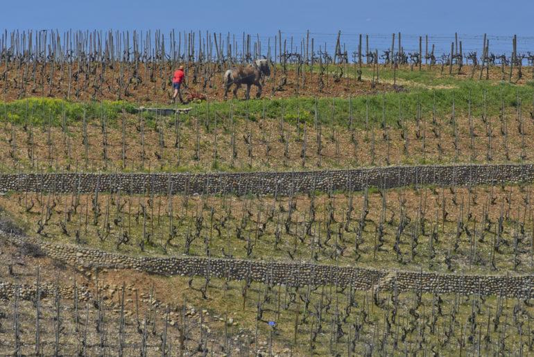 Cheval dans les vignes
